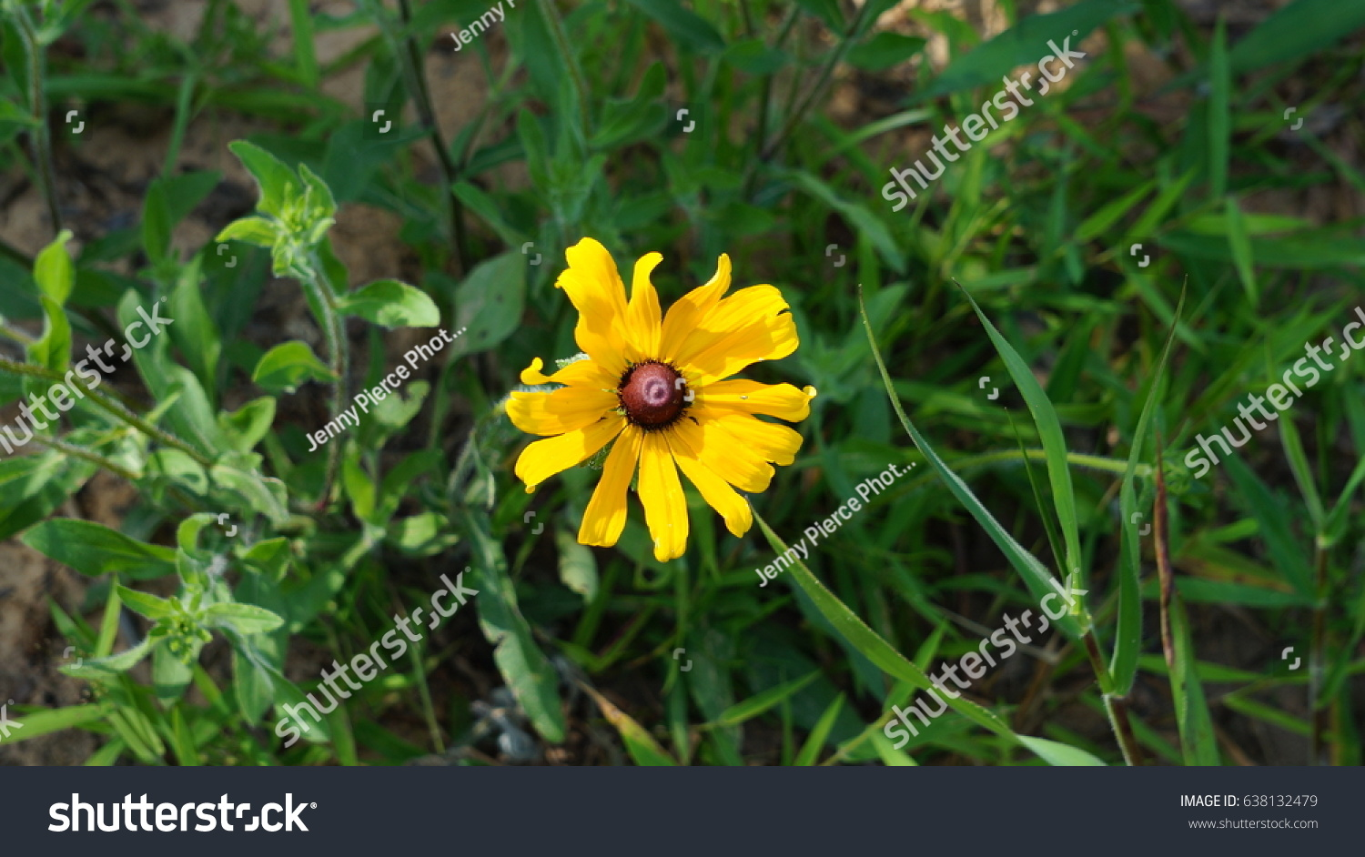 Yellow Flower Brown Center Stock Photo Edit Now 638132479