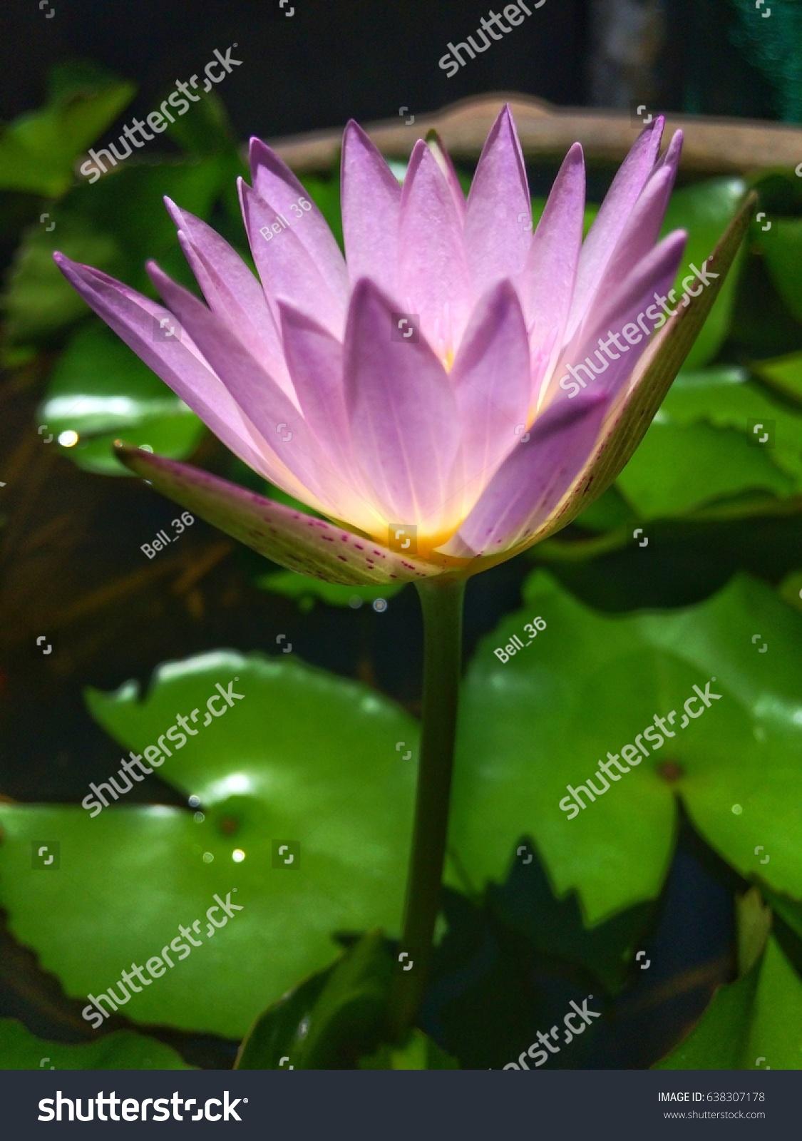 Beautiful lotus flower blooming flowers morning stock photo royalty beautiful lotus flower or blooming flowers in the morning pond izmirmasajfo