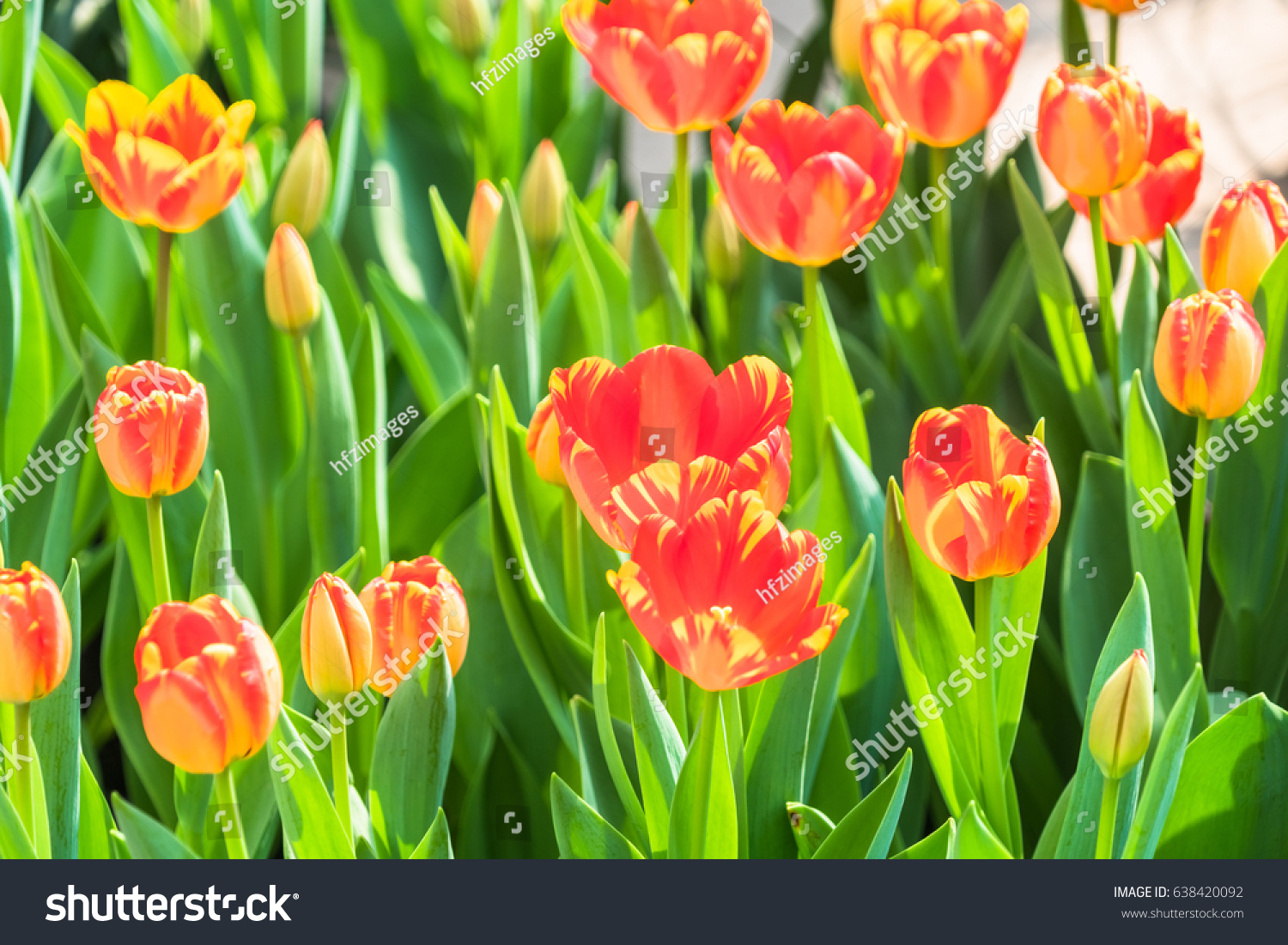 Closeup beautiful tulip flowers blooming fieldview stock photo closeup of beautiful tulip flowers blooming in fieldview from above izmirmasajfo