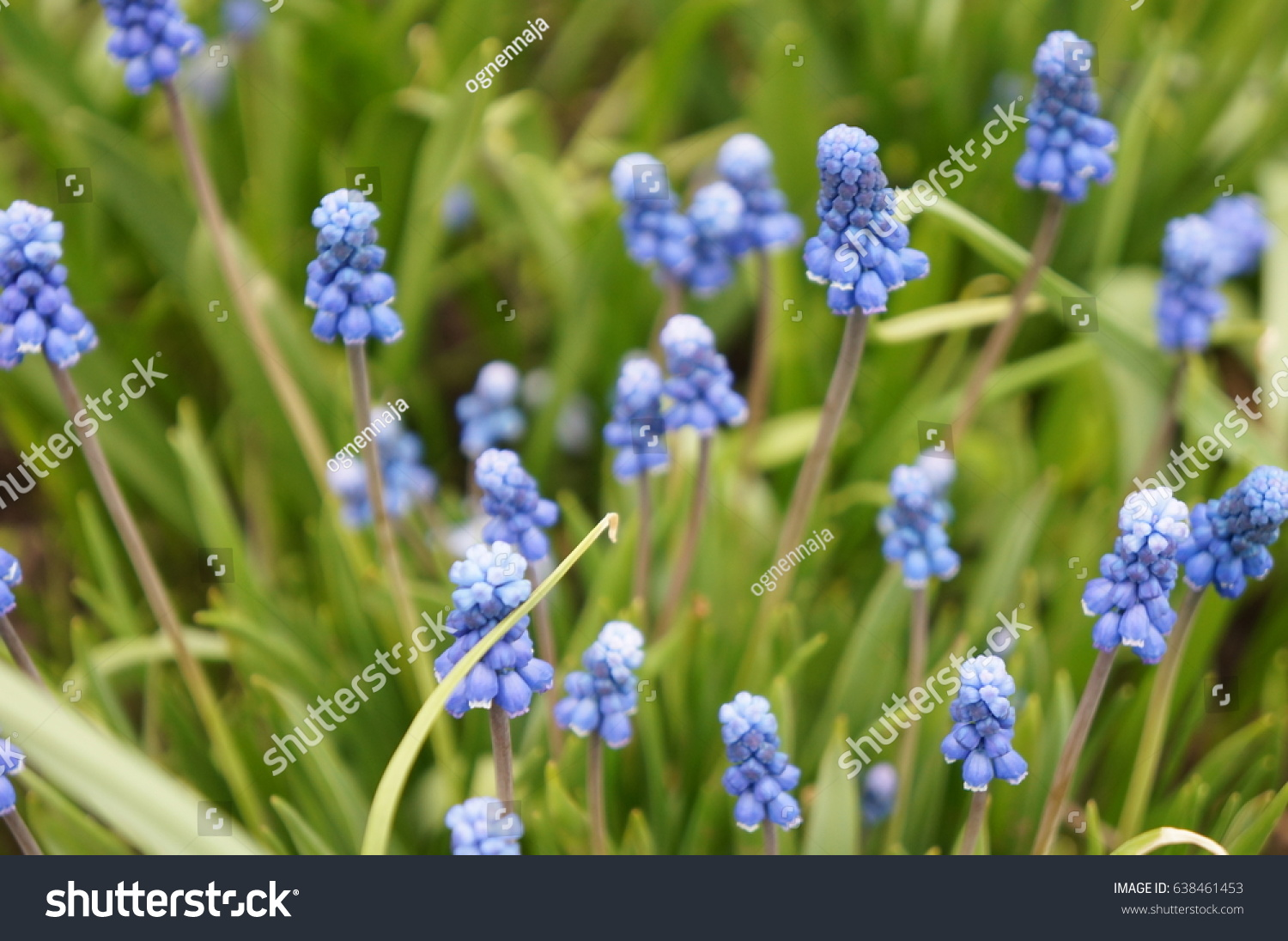 Tender Spring Flowers Of The Muscular Hyacinth Muscari Ez Canvas