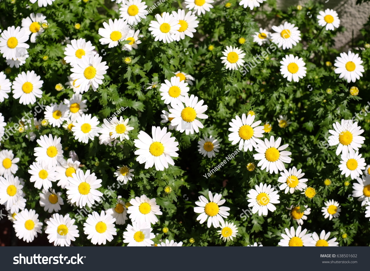 Top view daisy flowers stock photo edit now 638501602 shutterstock top view of daisy flowers izmirmasajfo