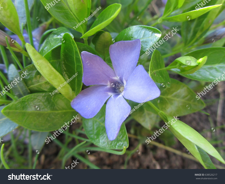 Purple Flower Five Petals Against Background Stock Photo Royalty