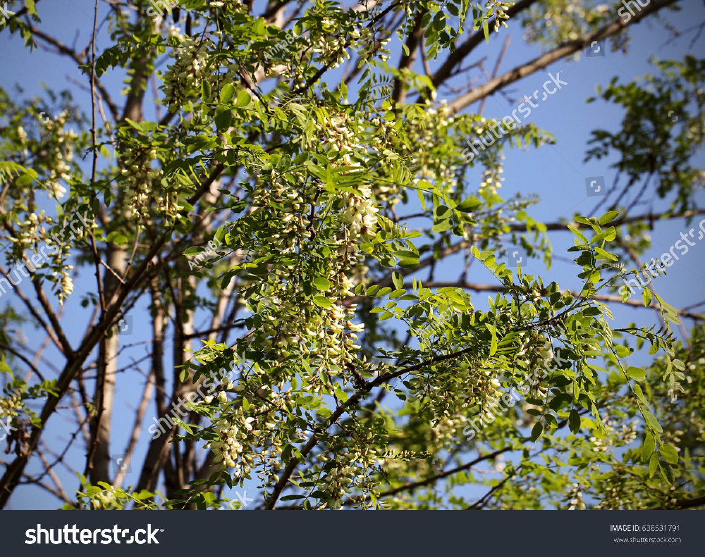 Acacia White Flowers Tree Field Begins Stock Photo Edit Now