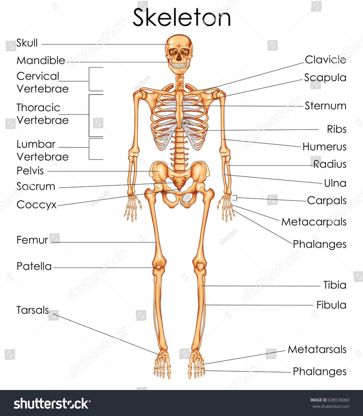 Detailed Human Skeleton Diagram Introduction To Electrical Wiring