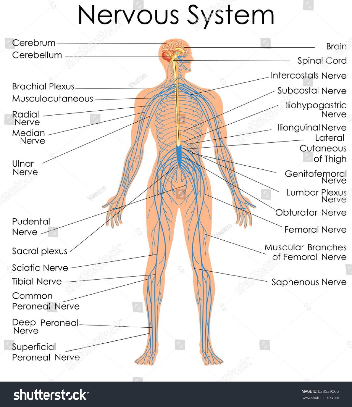 Medical Education Chart Biology Nervous System Stock Vektorgrafik