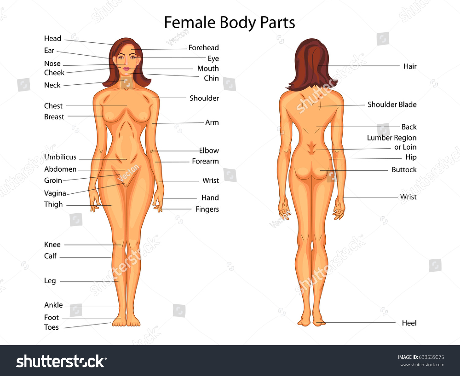Medical Education Chart Biology Female Body Stock Vector Royalty