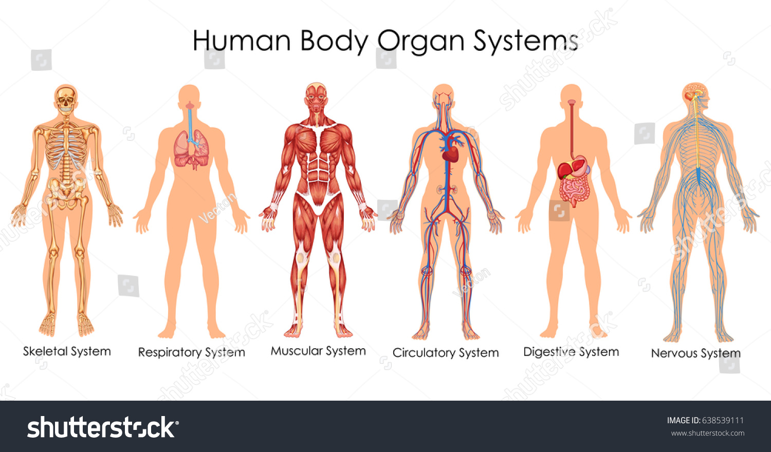 Medical education chart biology human body em vetor stock 638539111 medical education chart of biology for human body organ system diagram vector illustration ccuart Gallery