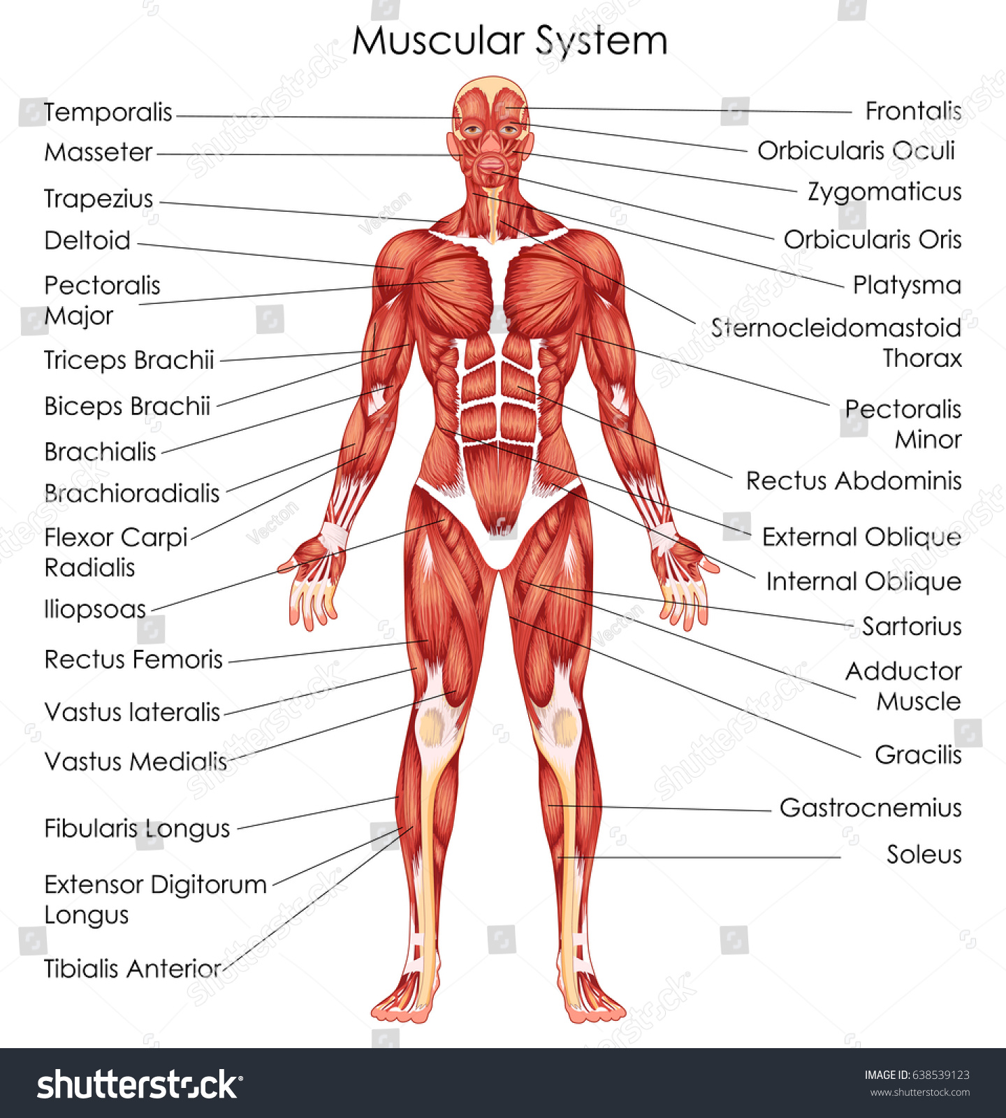 Medical Education Chart Biology Muscular System Vector de stock ...