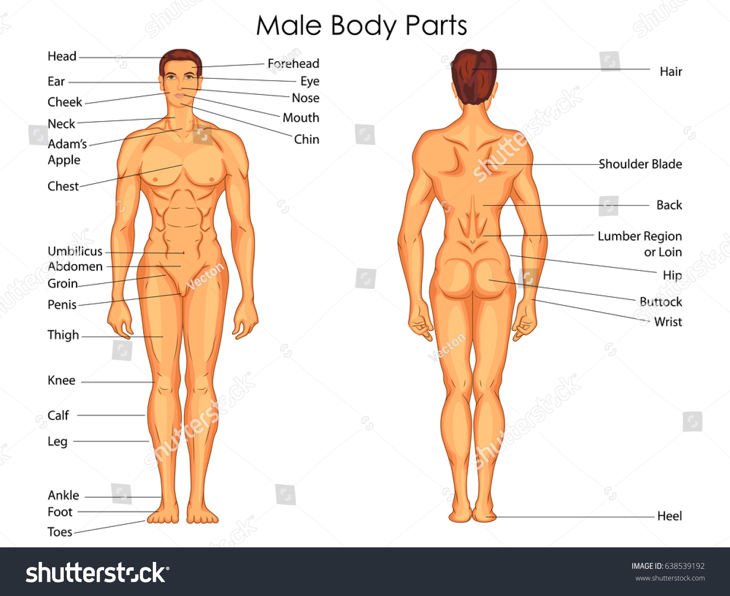 Medical Education Chart Biology Male Body Stock Vector Royalty Free