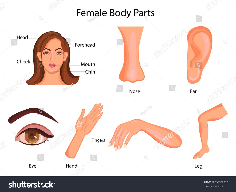 Medical Education Chart Biology Female Body Stock Vector Royalty