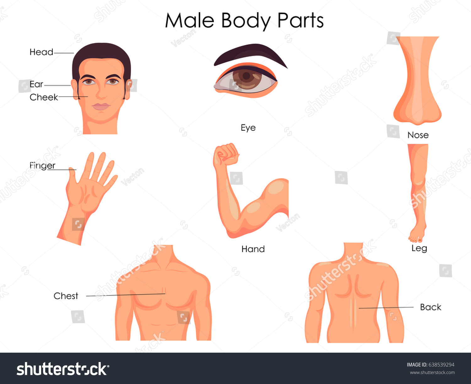 Medical education chart biology male body stock vector 638539294 medical education chart of biology for male body parts diagram vector illustration pooptronica