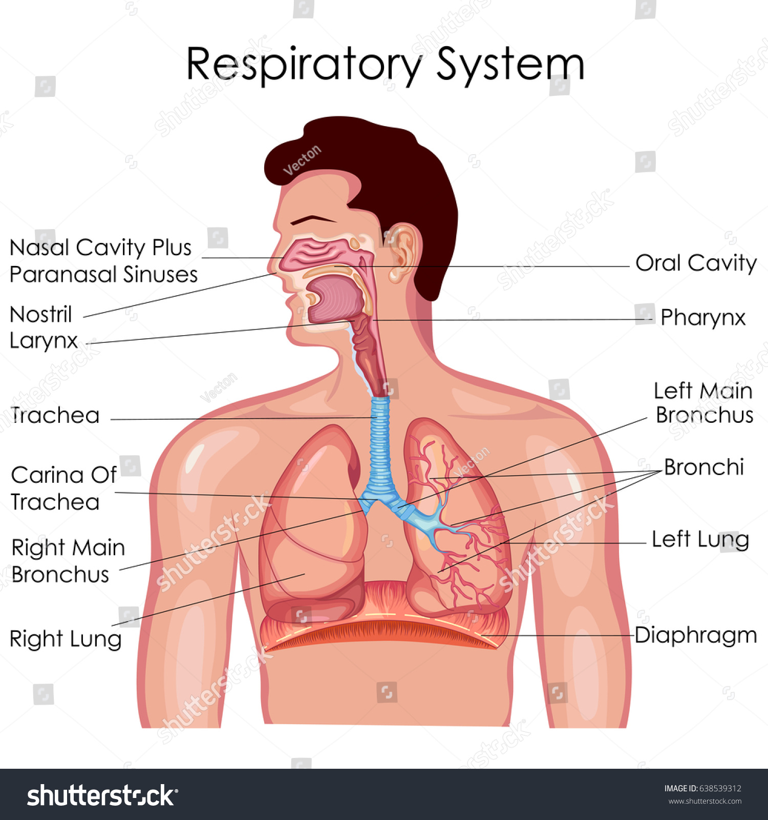 Medical education chart biology respiratory system stock vector medical education chart of biology for respiratory system diagram vector illustration ccuart Choice Image
