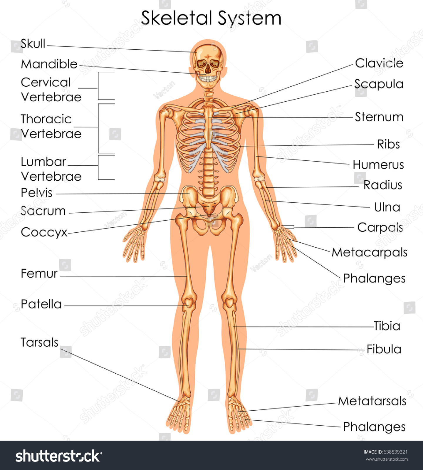 Medical Education Chart Biology Skeletal System Stock