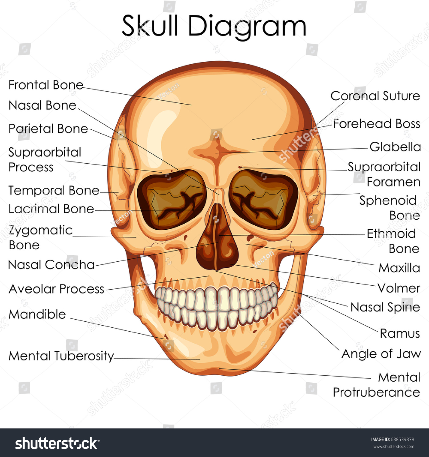 Medical Education Chart Biology Human Skull Stock Vector