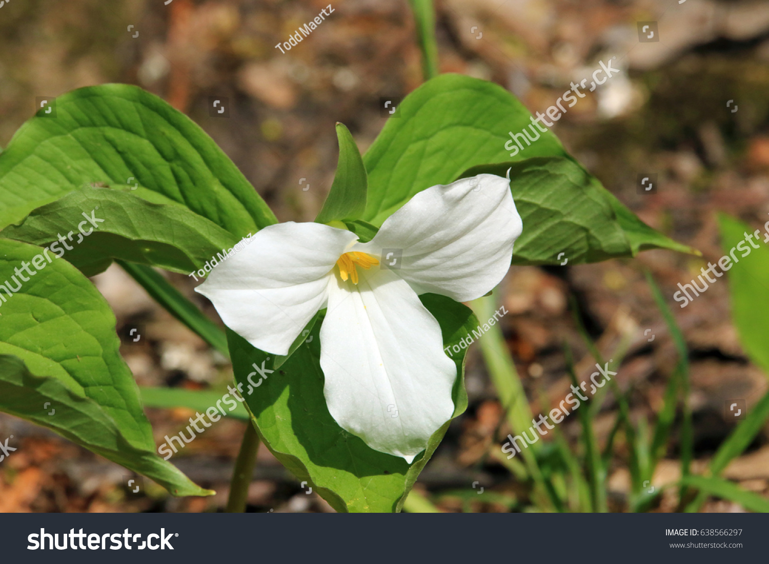 Close White Trillium Flowerwhite Trillium Flower Stock Photo Edit