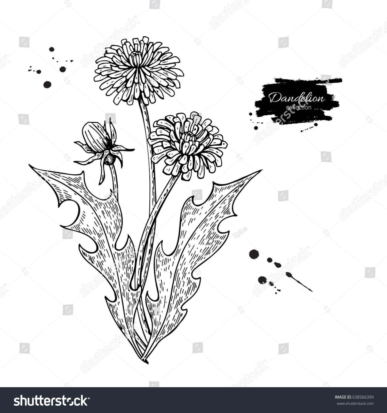 Dandelion Flower Line Drawing : Dandelion flower vector drawing set isolated stock