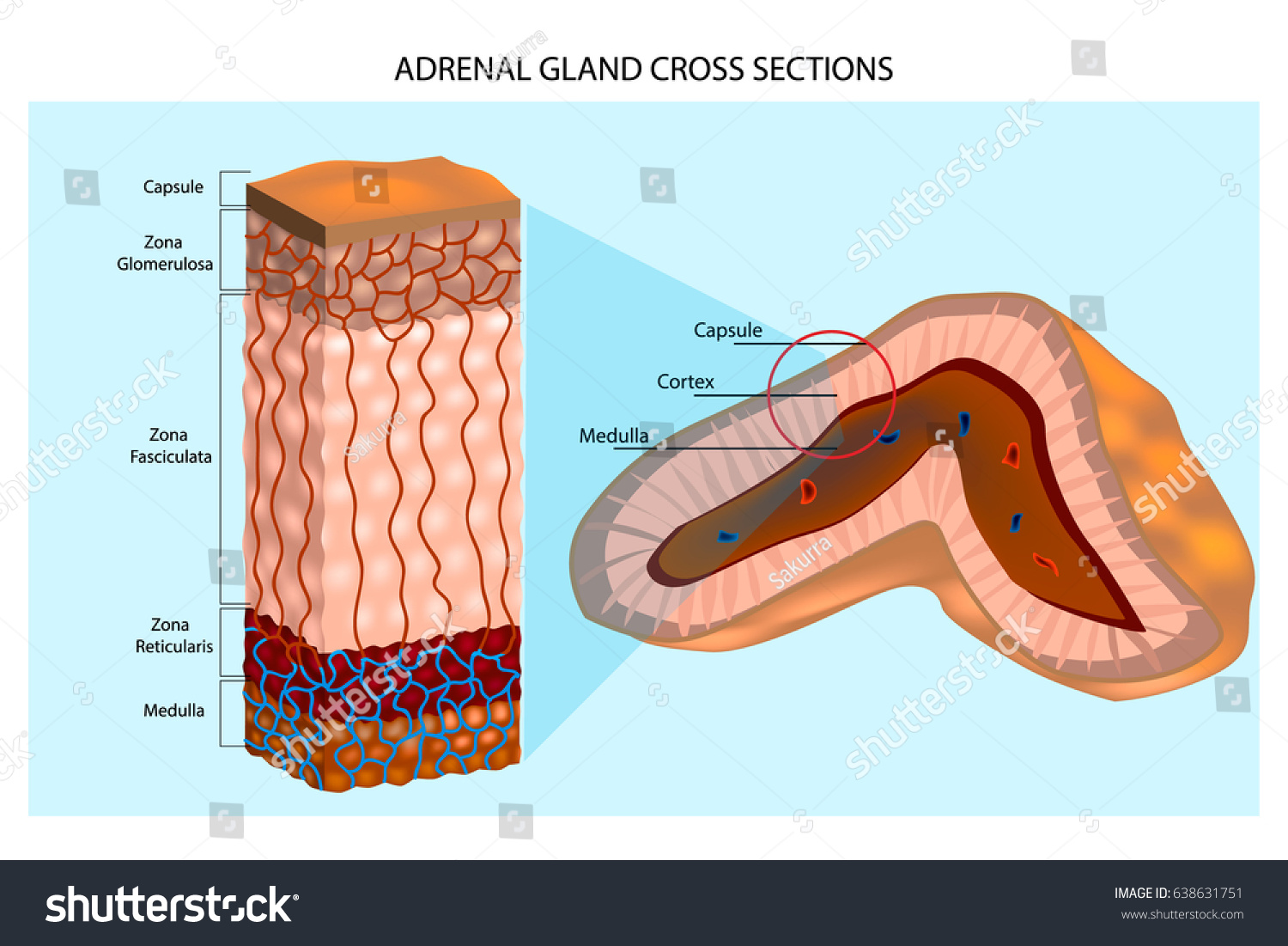 Adrenal Glands Diagram Internal Structure Adrenal Stock Vector