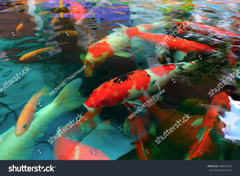 Colorful Koi Fish Carp Fish Swimming Stock Photo 638644453 ...
