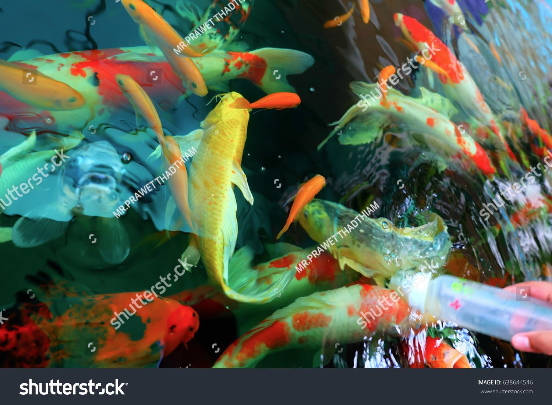 Colorful Koi Fish Carp Fish Swimming Stock Photo 638644546 ...
