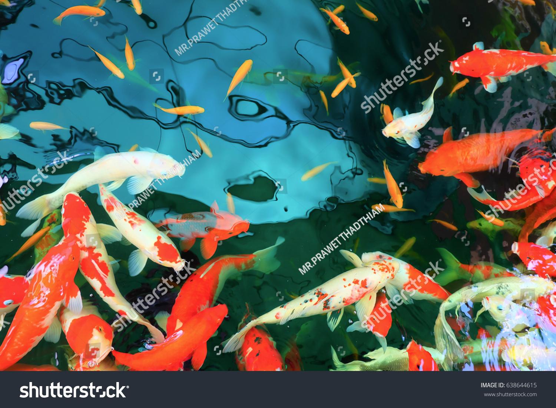 Colorful Koi Fish Carp Fish Swimming Stock Photo 638644615 ...
