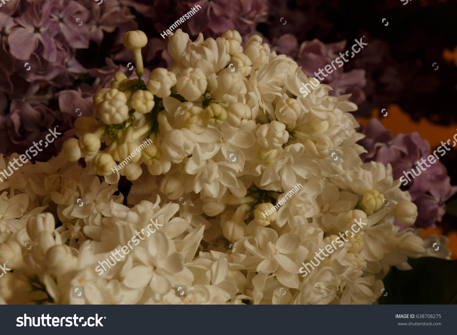 Blooming Light White Lilac Flowers As Background Ez Canvas