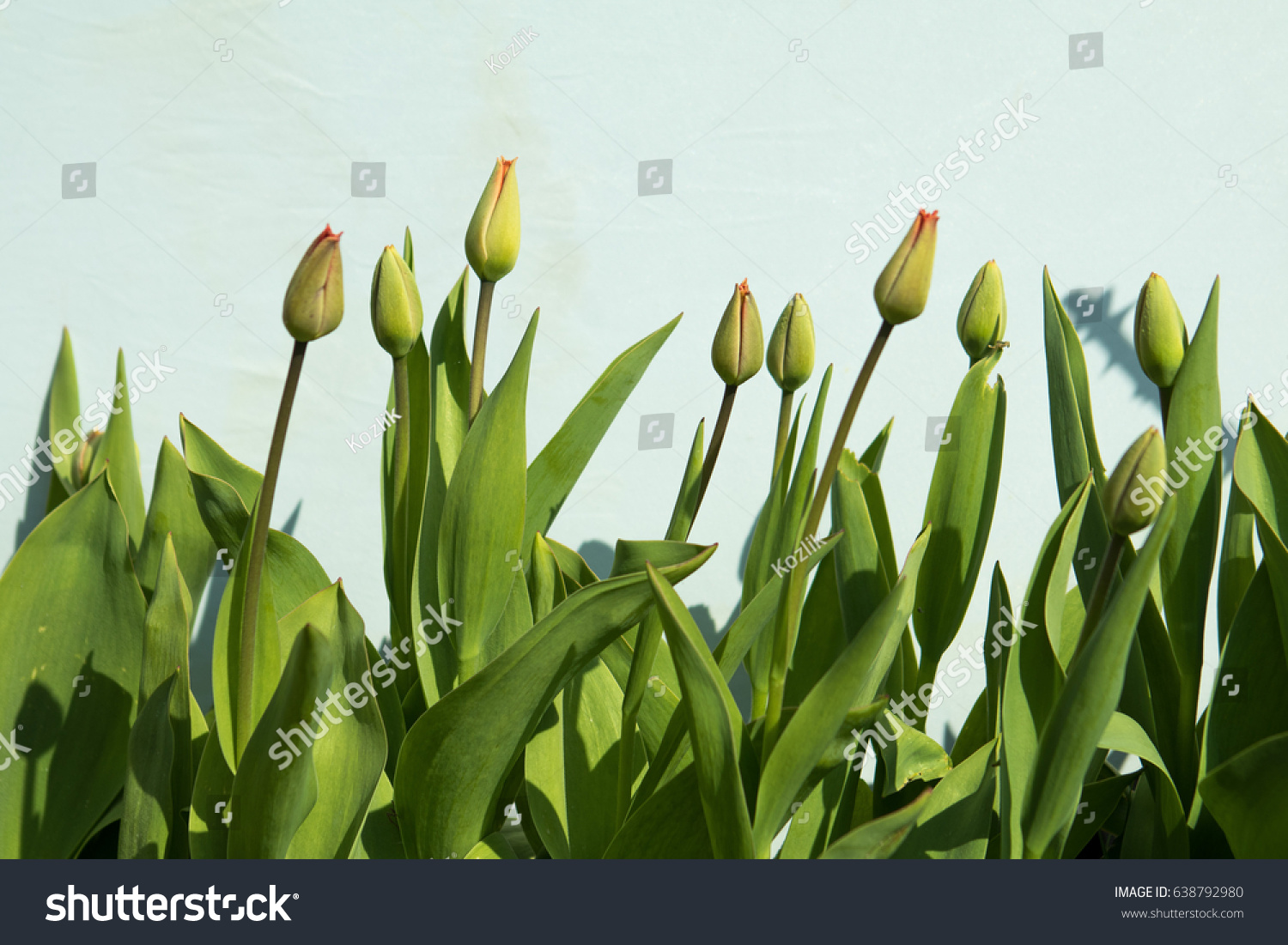 First Spring Flowers Buds Tulips Leaves Stock Photo Edit Now
