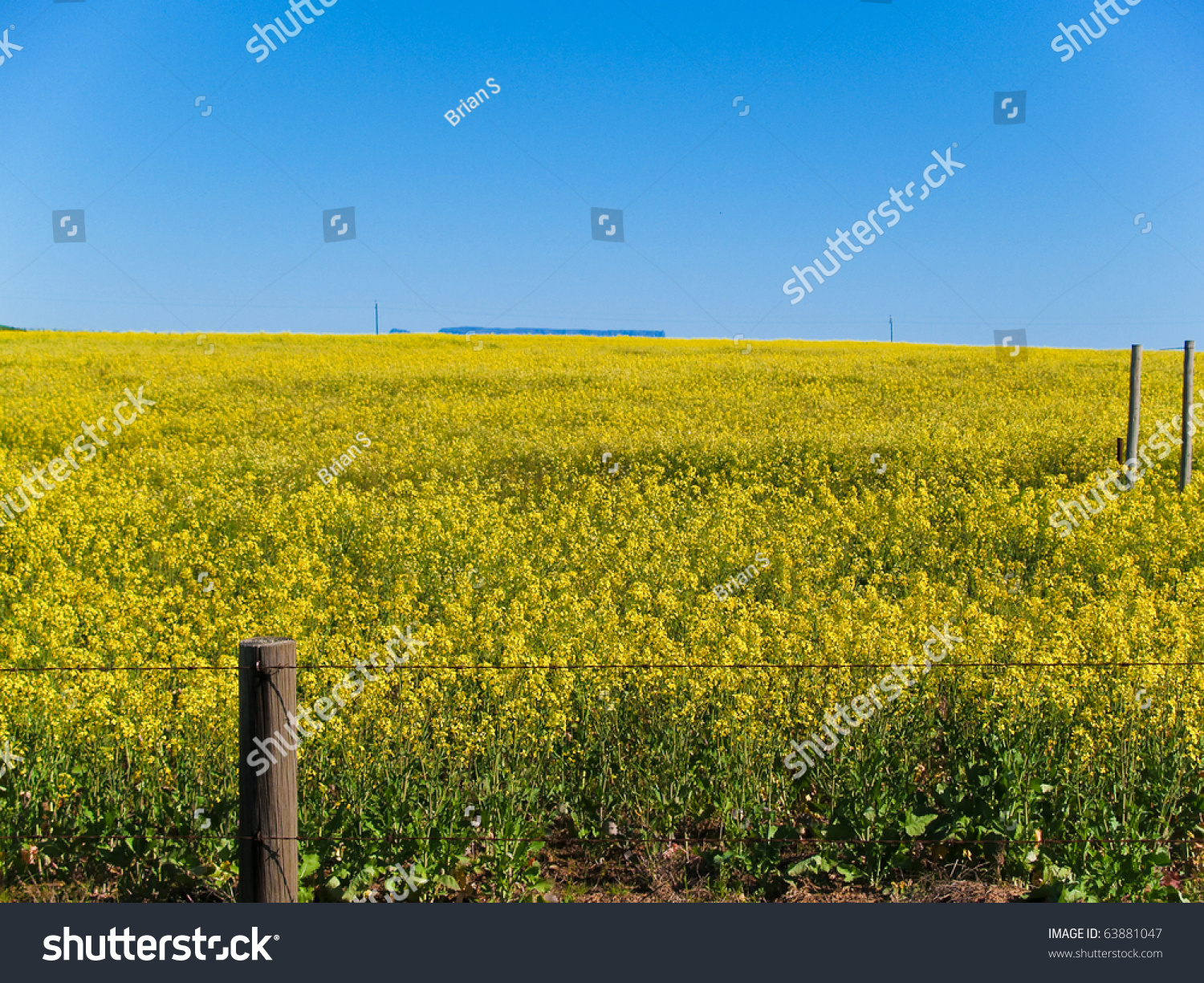 Canola Crop Bright Yellow Flowers Field Stock Photo Edit Now