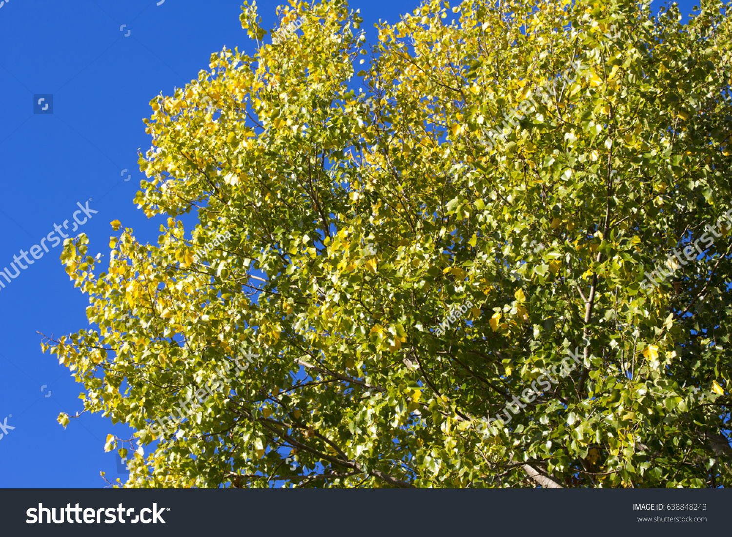 Brilliant Yellow Autumn Poplar Leaf Foliage Stock Photo 638848243 ...