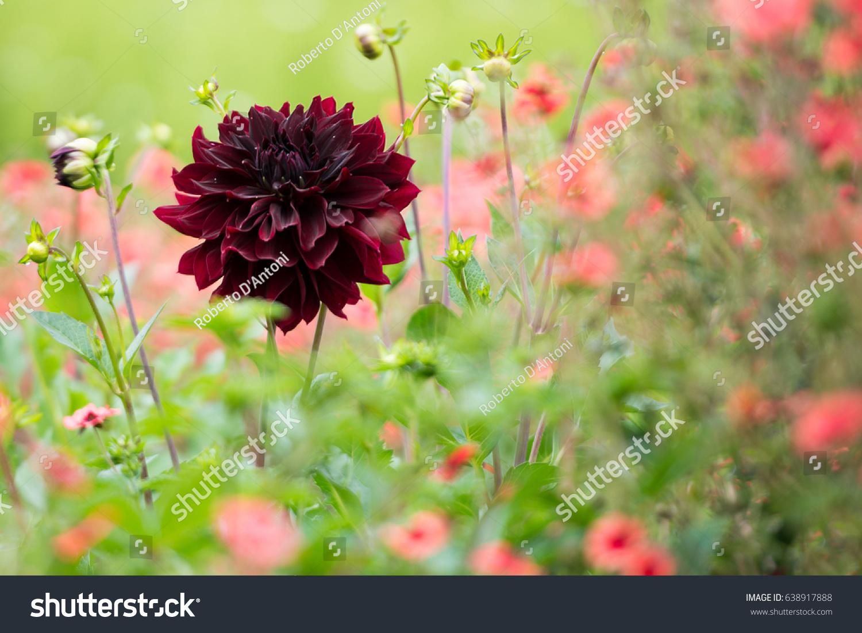 Closeup shot black dahlia flower among stock photo edit now closeup shot of a black dahlia flower among grass and poppies izmirmasajfo