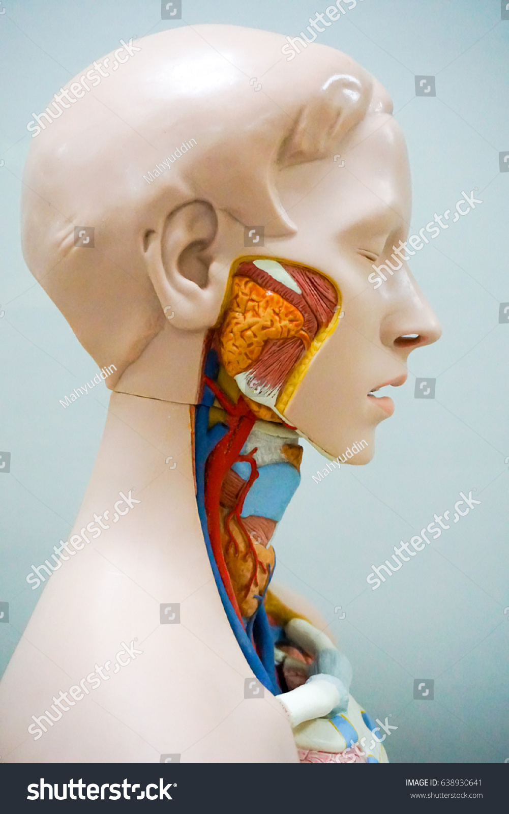 Head Human Anatomy Model Stock Photo Edit Now Shutterstock