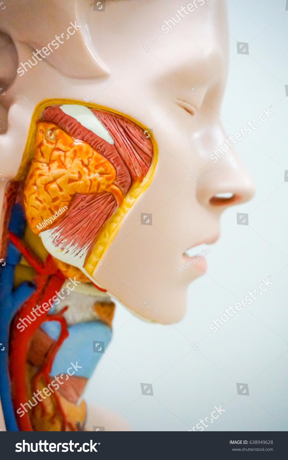 Human Anatomy Cheek Educational Purpose Stock Photo Edit Now