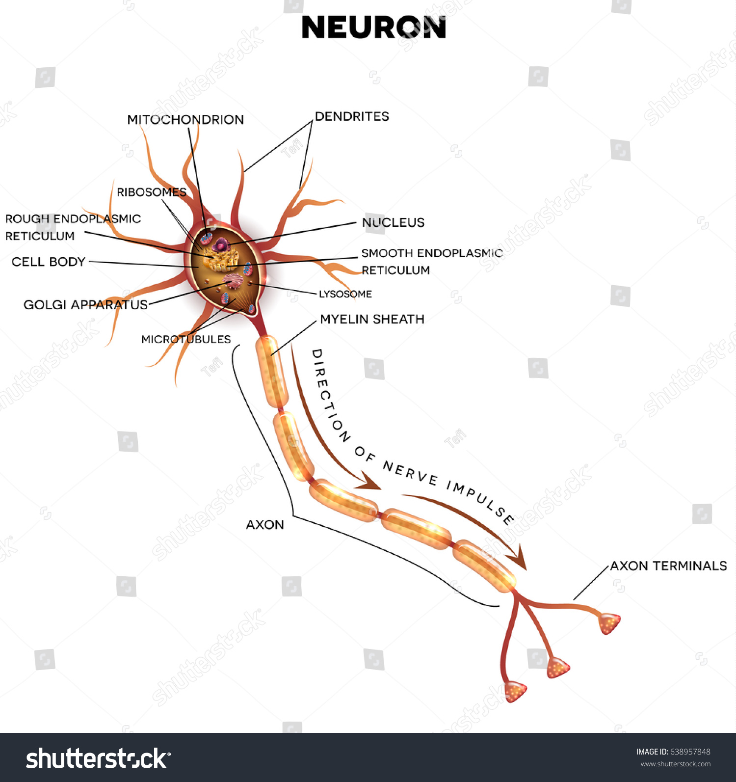 Neuron Nerve Cell That Main Part Stock Vektorgrafik Lizenzfrei
