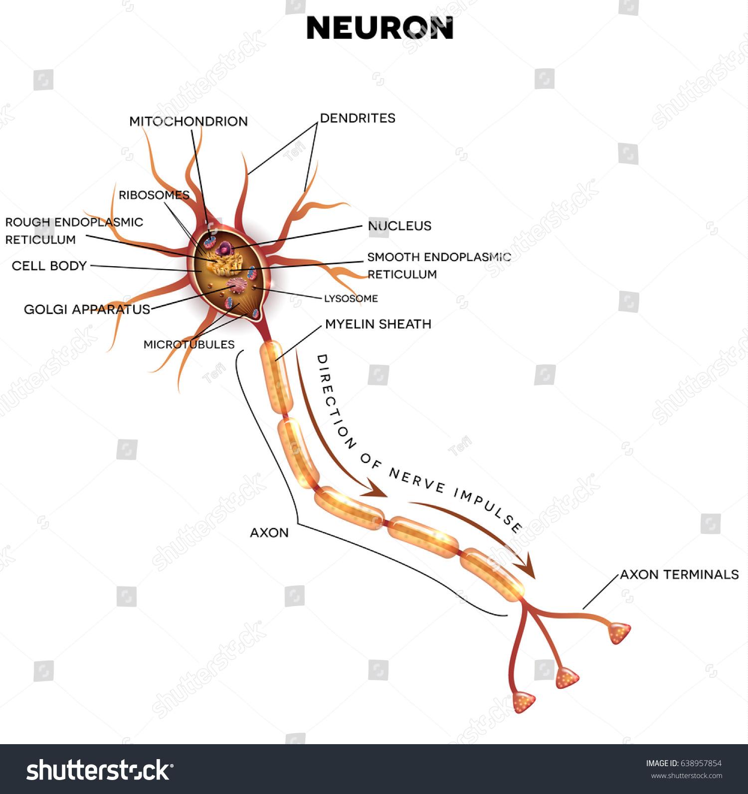 Neuron Nerve Cell That Main Part Stock Illustration 638957854