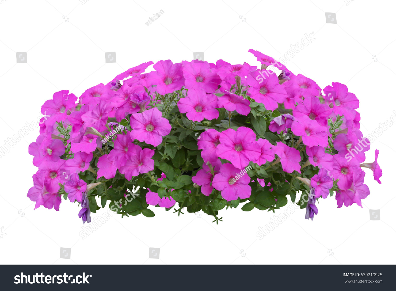 Purple Flower Bush Tree Isolated Clipping Stock Photo Safe To Use