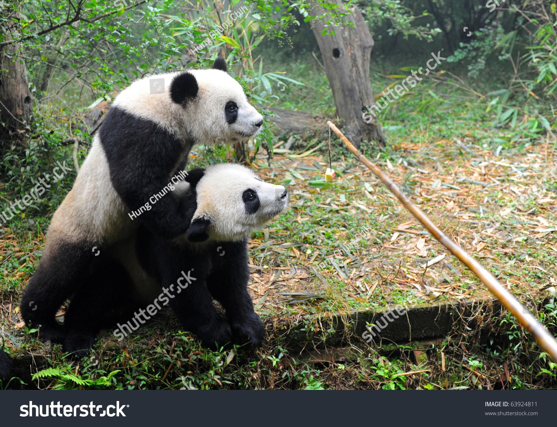 Giant Panda Bears Fighting Food Stock Photo 63924811 - Shutterstock