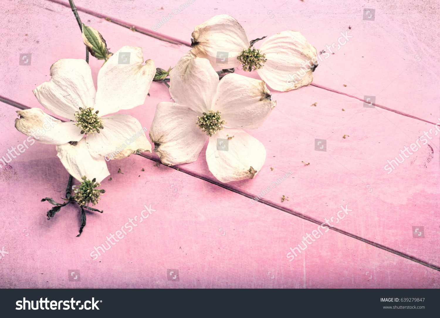 Old White Dogwood Flowers On Painted Stock Photo Edit Now