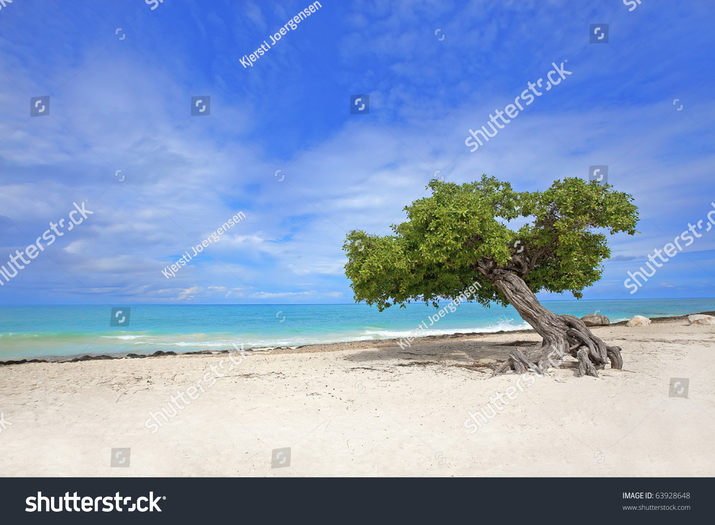 Divi divi tree on eagle beach aruba stock photo 63928648 shutterstock - Divi aruba beach ...