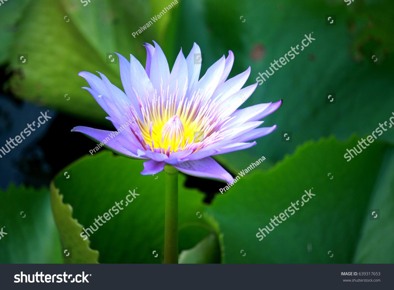 Lotus Flower Backgrounds Stock Photo 639317653 Shutterstock