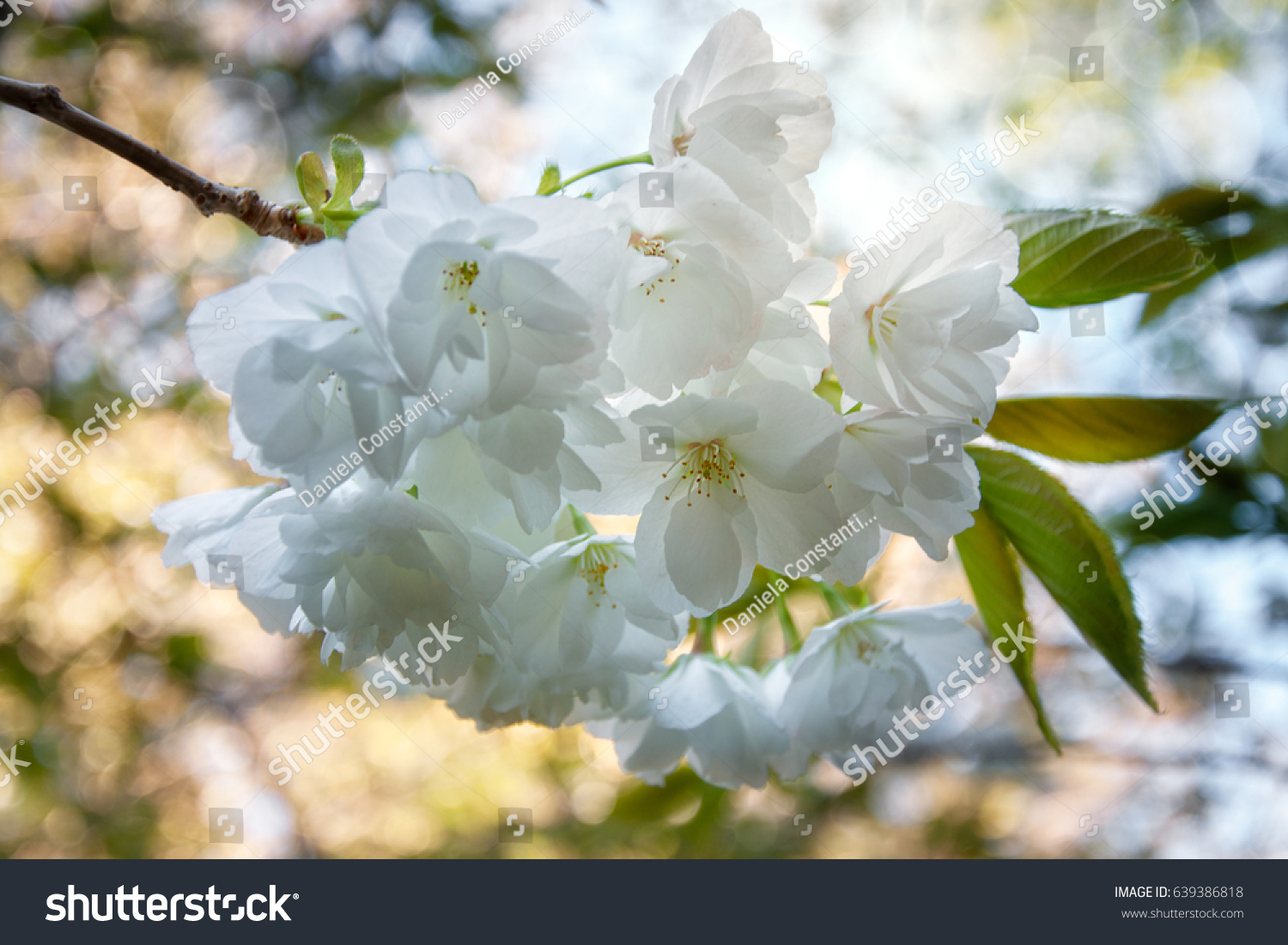 Backlit Delicate White Flowers On A Tree Branch In Dappled Bokeh