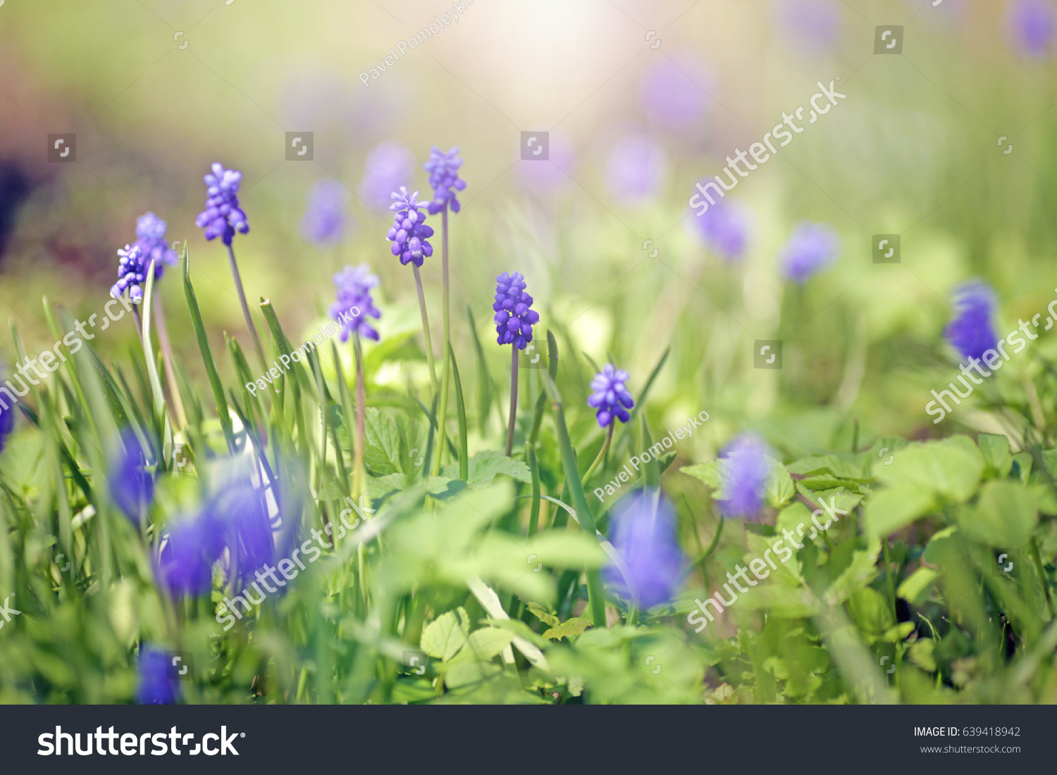 First Spring Flowers Stock Photo Safe To Use 639418942 Shutterstock