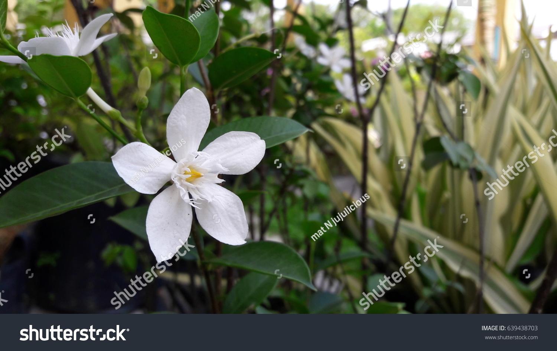 Beautiful White Snowflake Flower Bunga Melati Stock Photo Edit