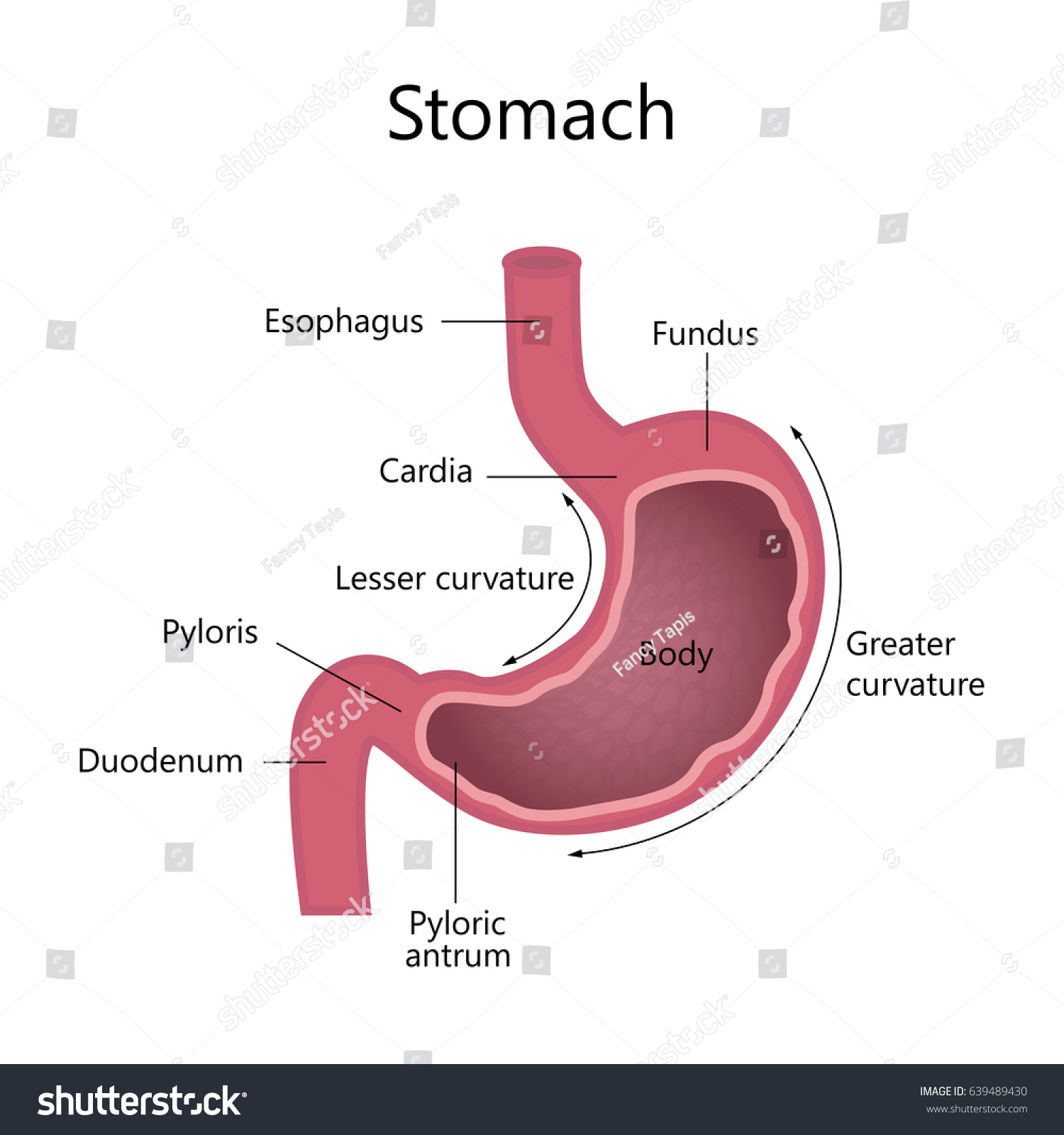 Anatomy Human Stomach Internal Structure Stock Illustration ...