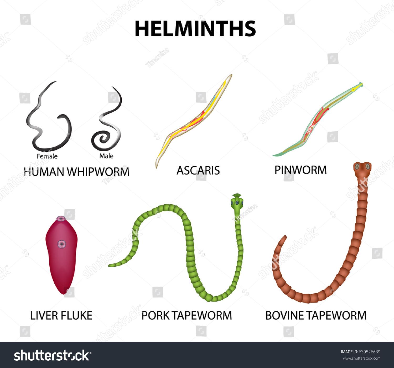 Set Helminths Roundworm Ascaris Pinworms Bovine Stock