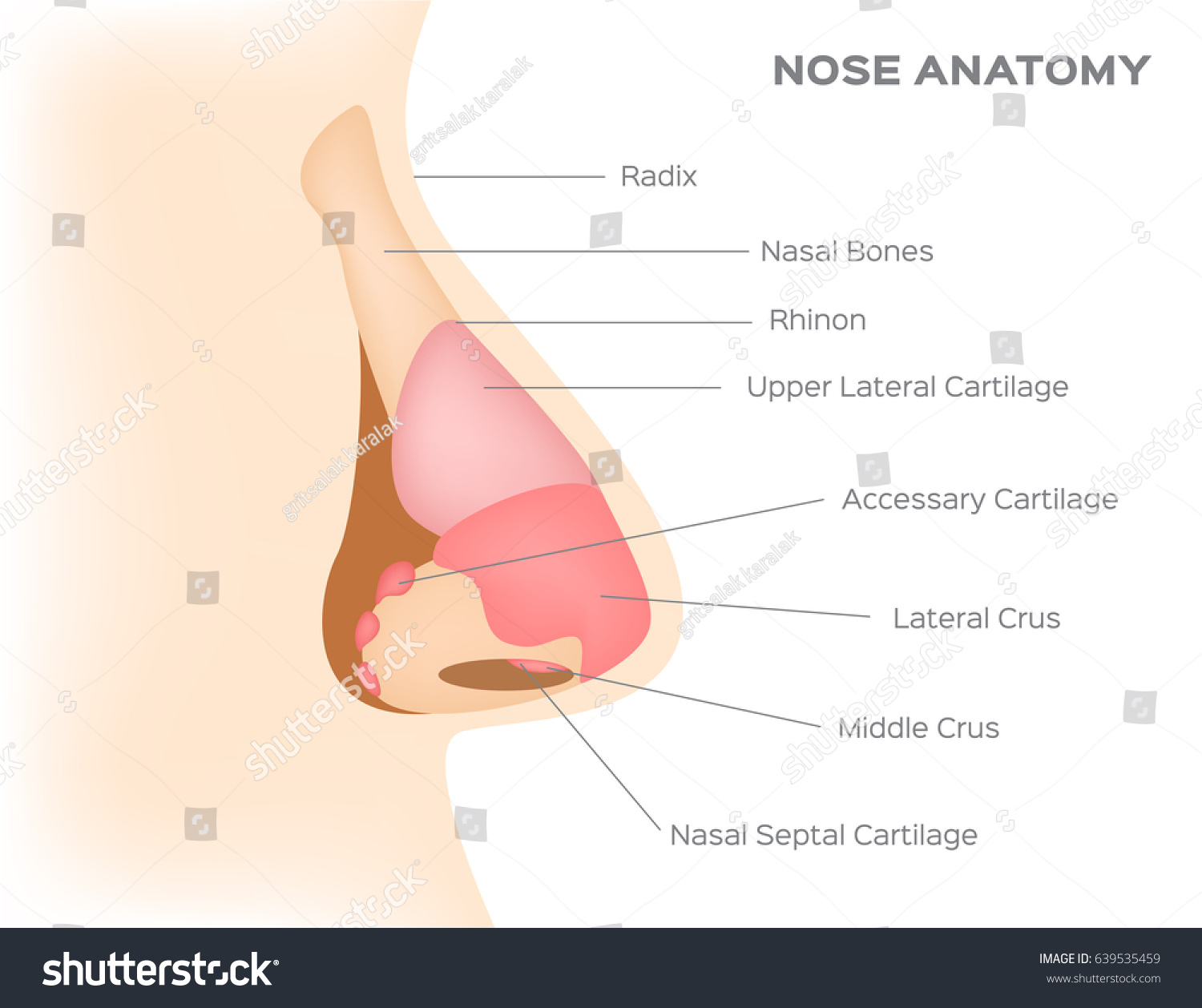 Human Nose Anatomy Vector Stock Vector (Royalty Free) 639535459 ...