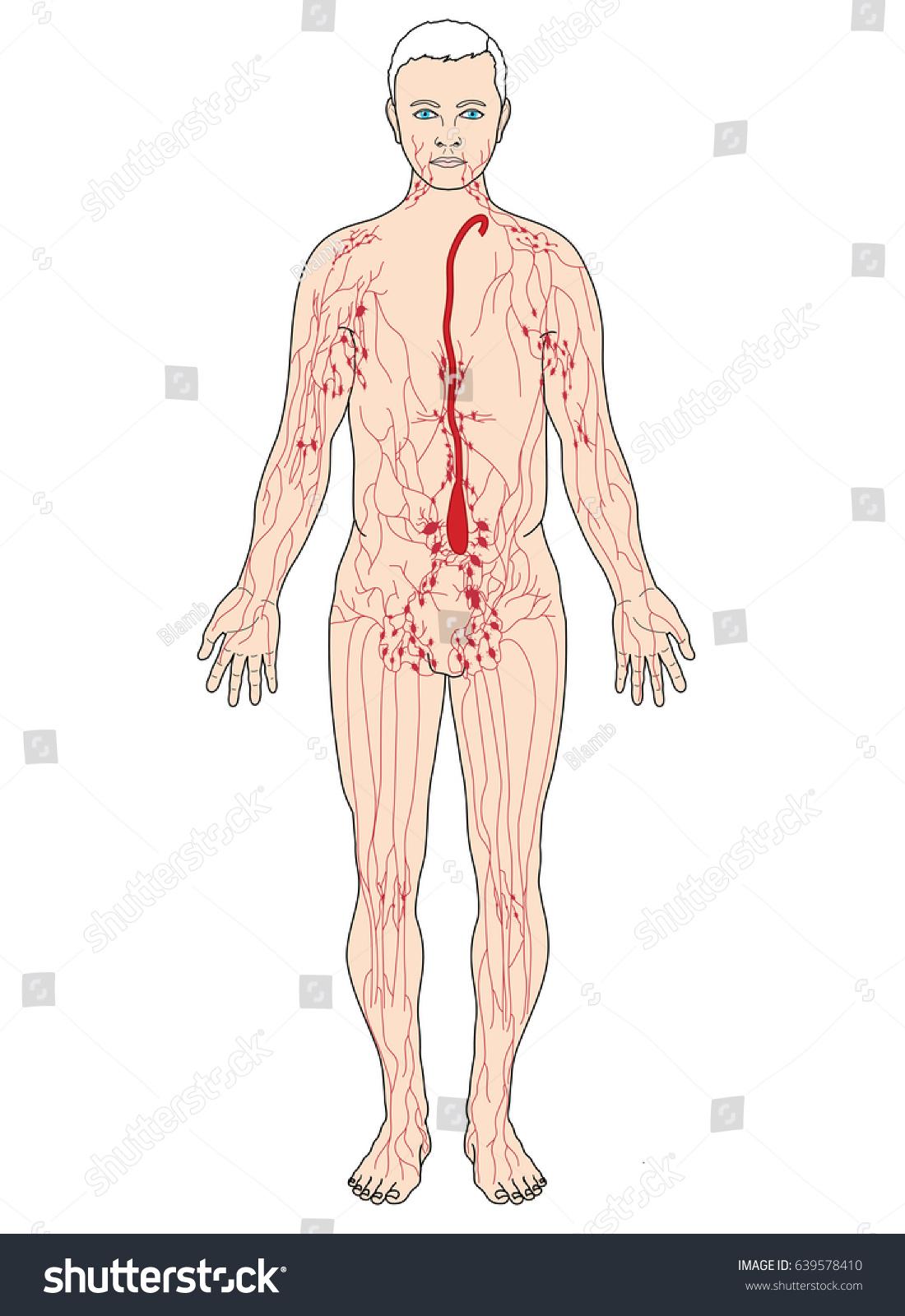 Main Lymph Nodes Lymph Vessels Including Stock Illustration ...