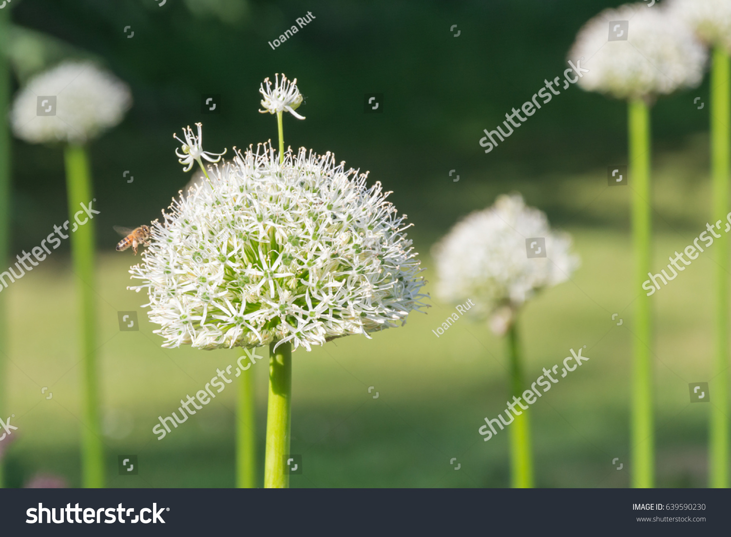 Beautiful White Allium Flower Bee Flyying Stock Photo Edit Now