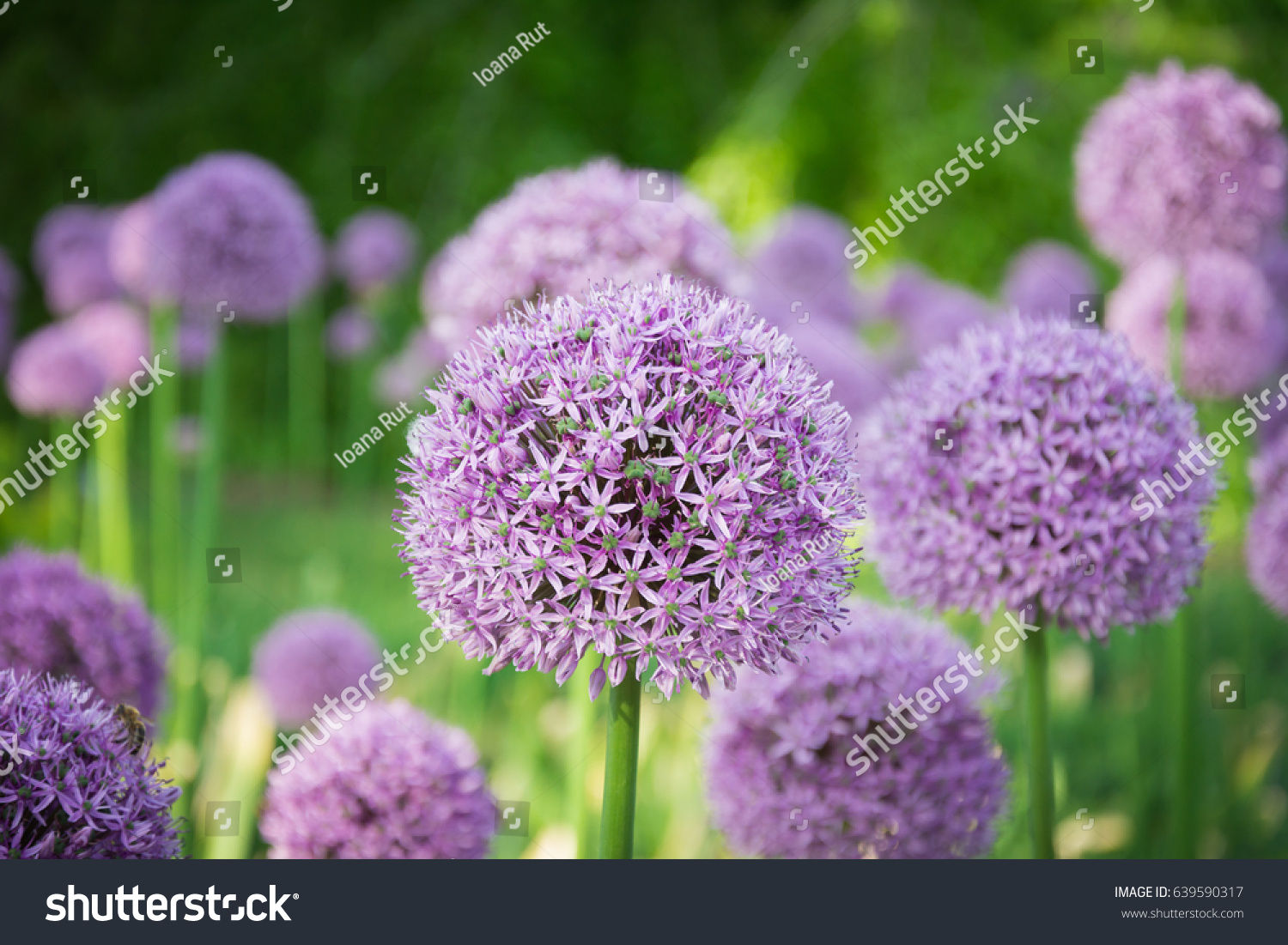 Beautiful purple allium flower green natural stock photo edit now beautiful purple allium flower with green natural background perfect image for pink alliums flowers mightylinksfo