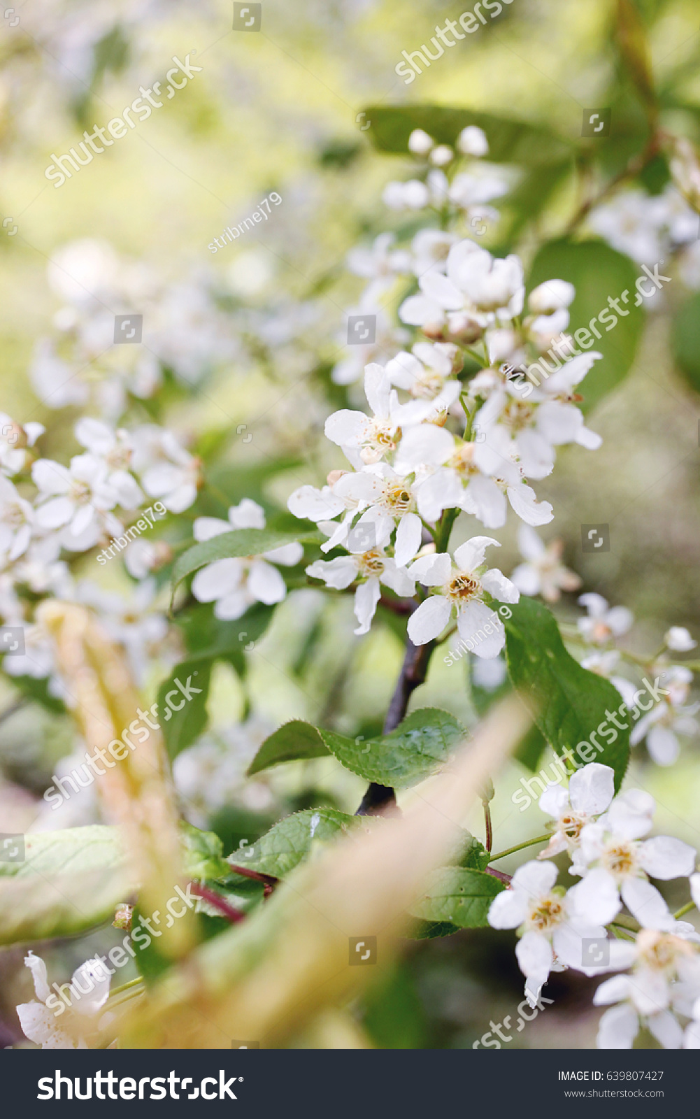 Beautiful Spring Picture Of Tree In Bloom With Tiny White Flowers On