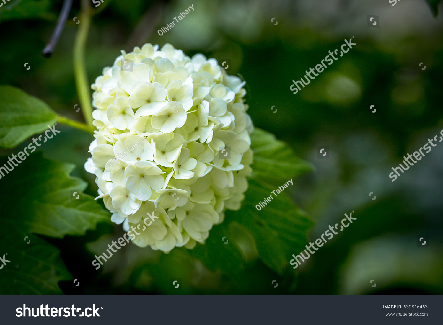 White Snowball Flower Leaves Stock Photo Edit Now 639816463