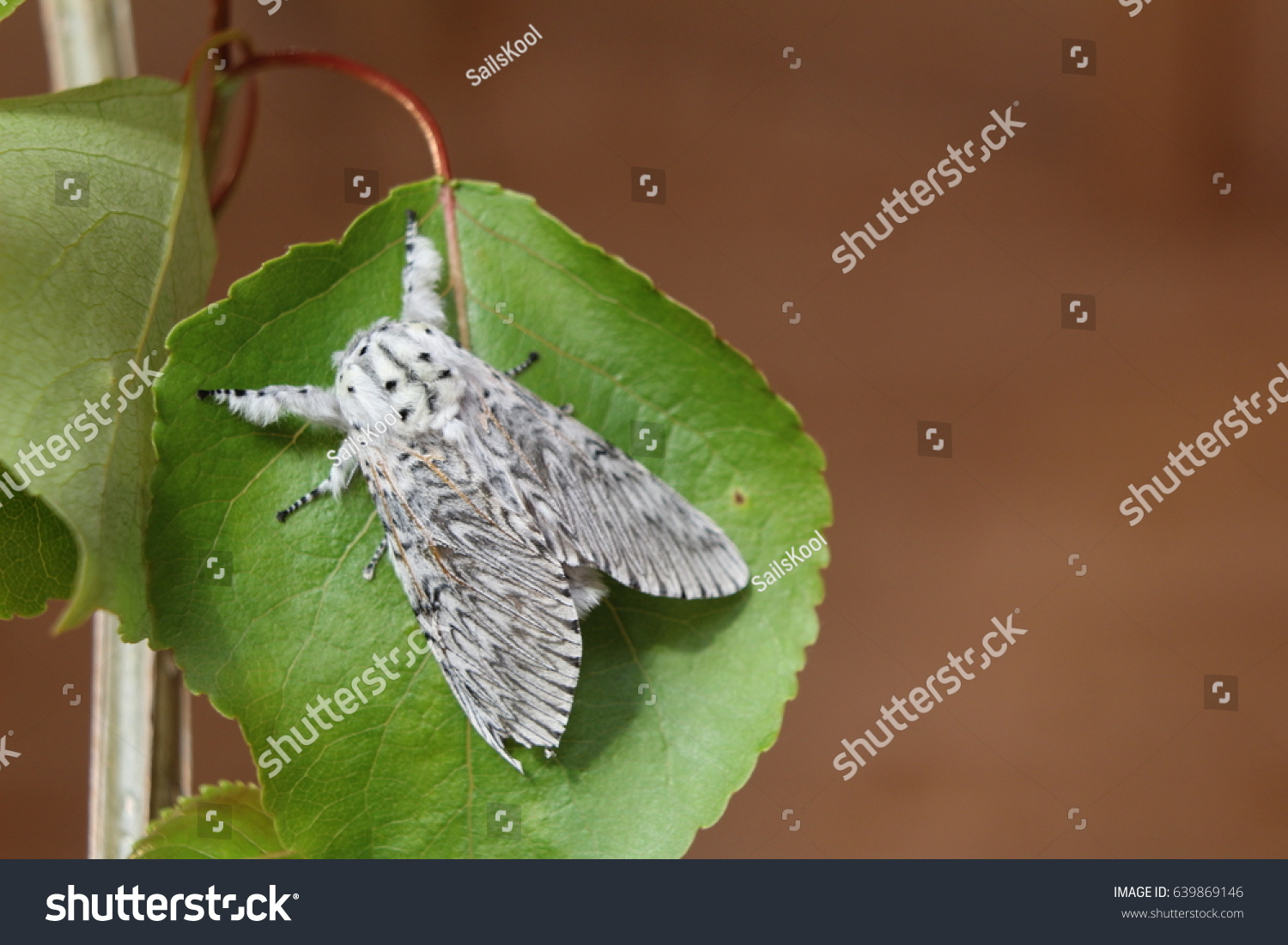 Puss moth, large white moth with dark markings, on Poplar leaf. #639869146
